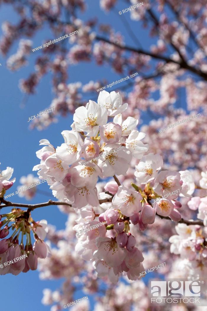 Stock Photo: Close up of Japanese Cherry Tree blossoms in High Park, Toronto, Ontario - the oldest of the cherry trees were given to Toronto by the Japanese Ambasador in.