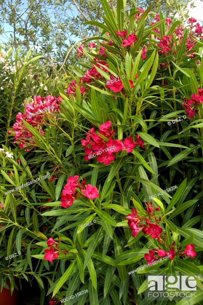 oleander nerium oleander stock photo picture and rights managed