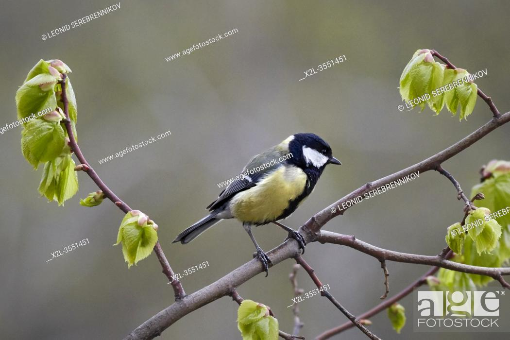 Stock Photo: The great tit (Parus major) perched on a tree branch. Moscow, Russia.