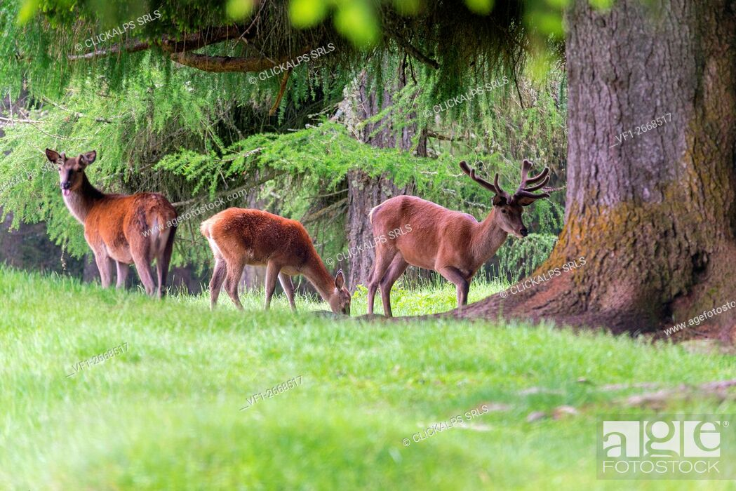 Stock Photo: Italy, Trentino Alto Adige, Paneveggio nature park, Red deer.