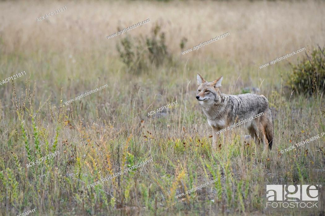 Stock Photo: Canis latrans - Coyote, Alberta, Canada.