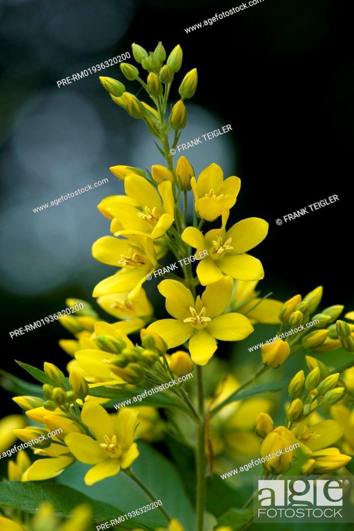 Stock Photo: Garden Loosestrife, Lysimachia vulgaris / Gewöhnlicher Gilbweiderich, Lysimachia vulgaris.