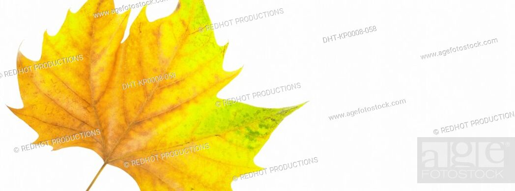 Stock Photo: One Autumn leaf.