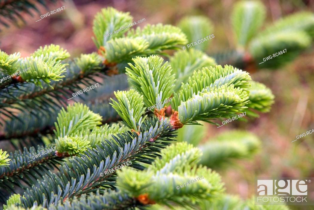 Abies Delavayi Stock Photo Picture And Rights Managed Image Pic
