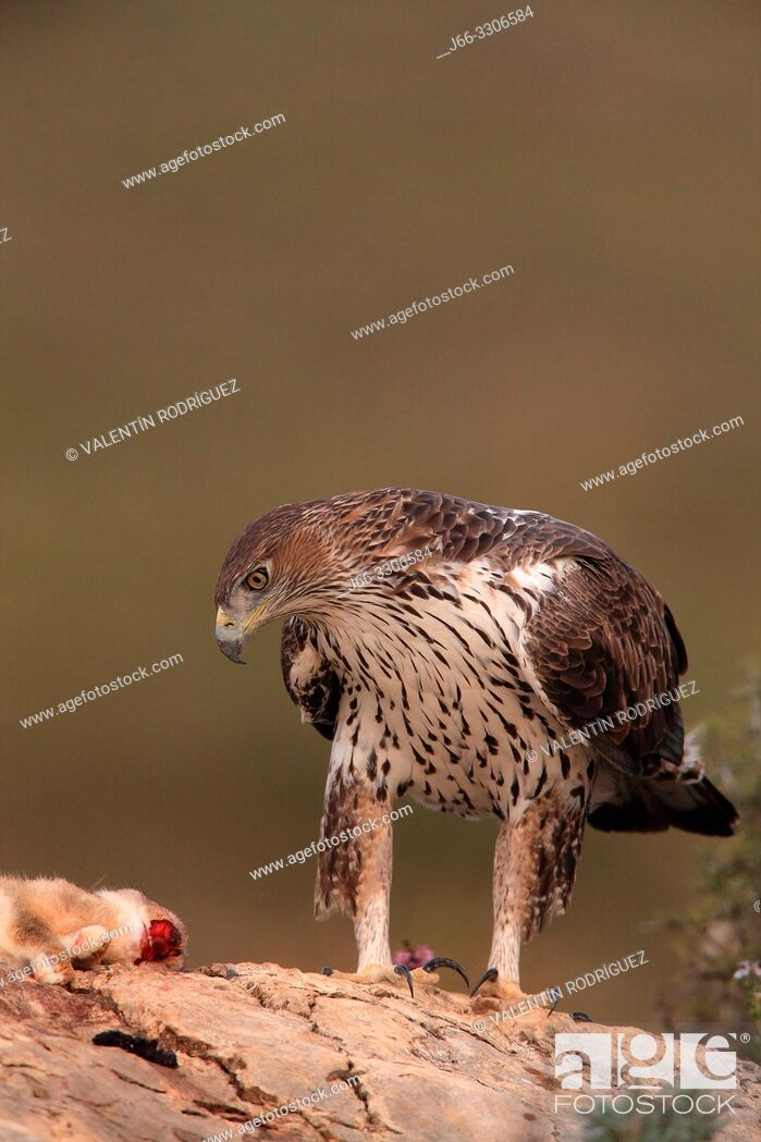 Stock Photo: Bonelli's eagle (Hieraaetus fasciautus) in the Serranos region. Valencia. Spain.