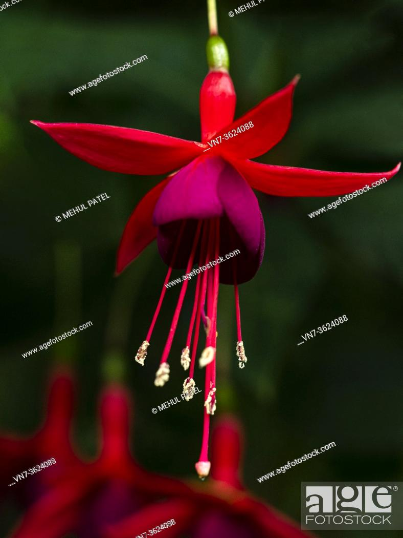 Imagen: Close up flowering red and magenta fuschia flower hanging from a cluster of flowers.