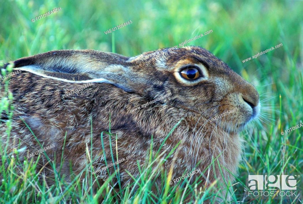 Stock Photo: brown, bunny, animals.