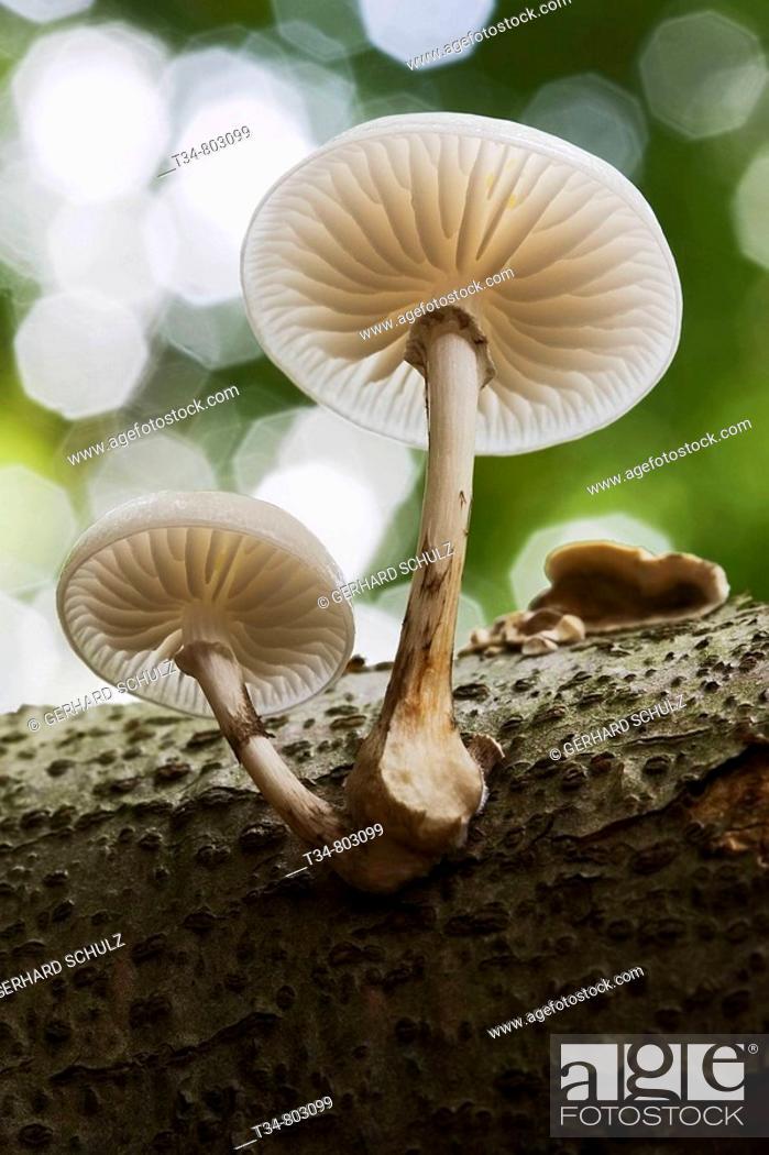 Stock Photo: Porcelain Mushroom, Oudemansiella mucida. Schleswig-Holstein, Germany.