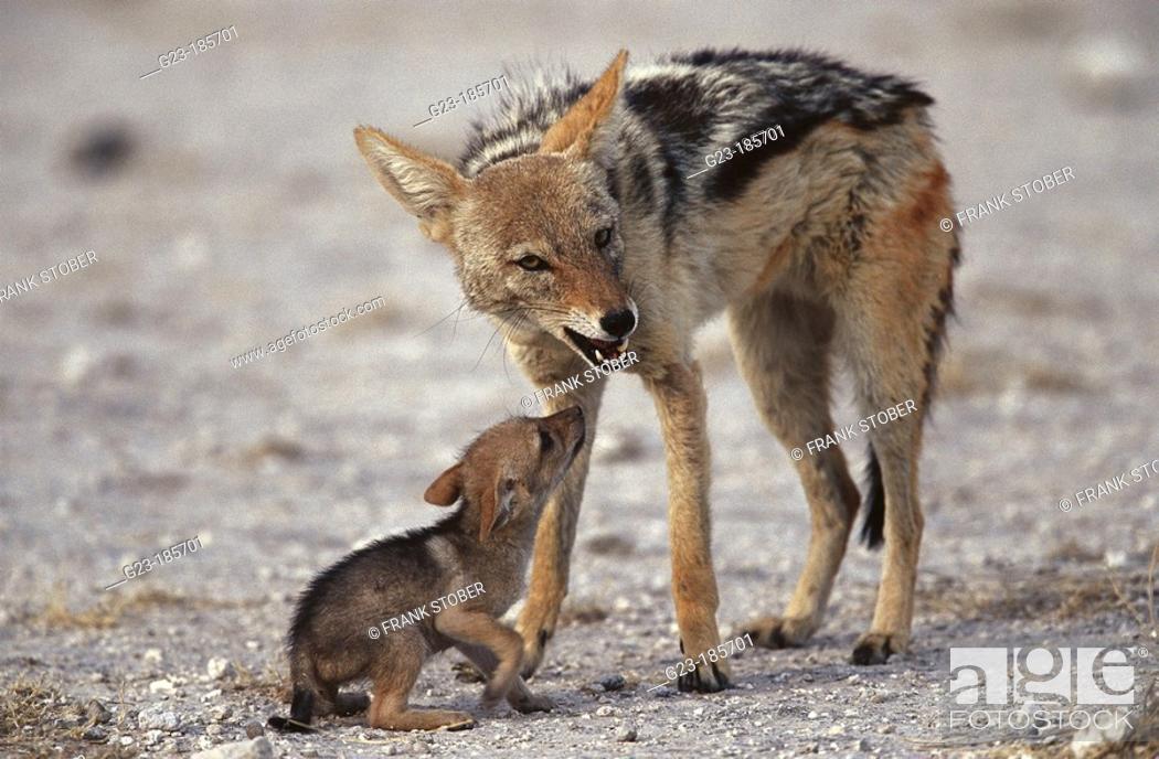 Stock Photo: Black-backed Jackals (Canis mesomelas). Namibia.