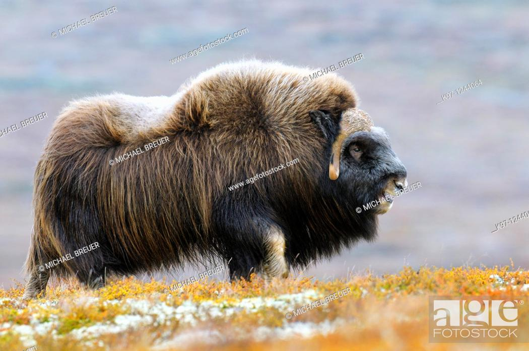 Stock Photo: Muskox (Ovibos moschatus), Bull, Dovrefjell-Sunndalsfjella National Park, Norway, Scandinavia, Europe, Autumn, Fall.