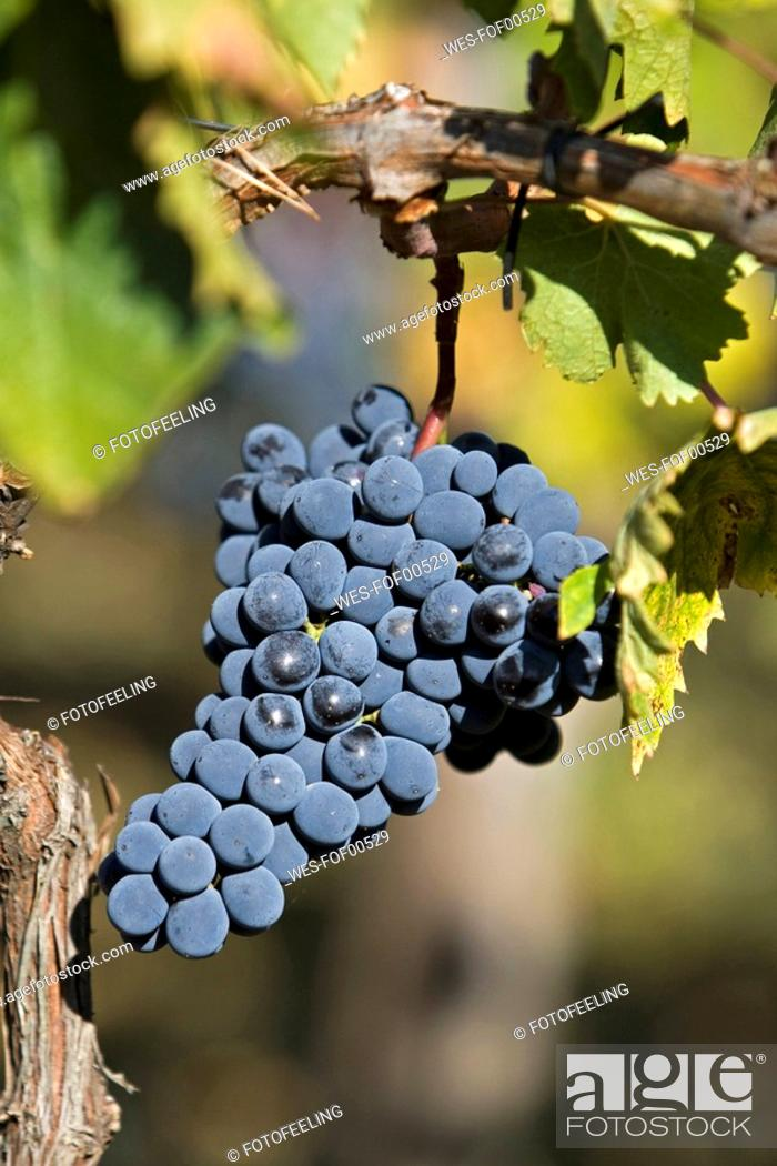 Stock Photo: Italy,Tuscany, Bunches of Grapes in Vineyard.