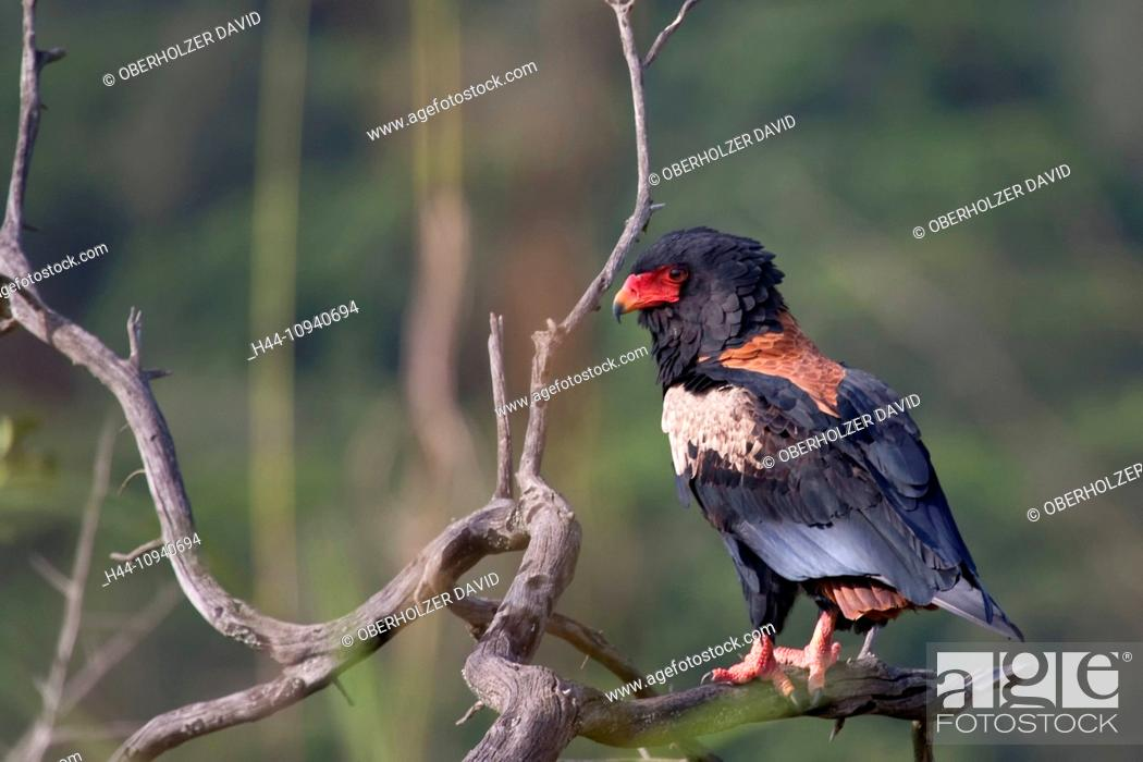 Stock Photo: Africa, Uganda, East Africa, black continent, pearl of Africa, Great Rift, travelling entertainer, bird, birds, birds of prey, bird of prey, predators predator.