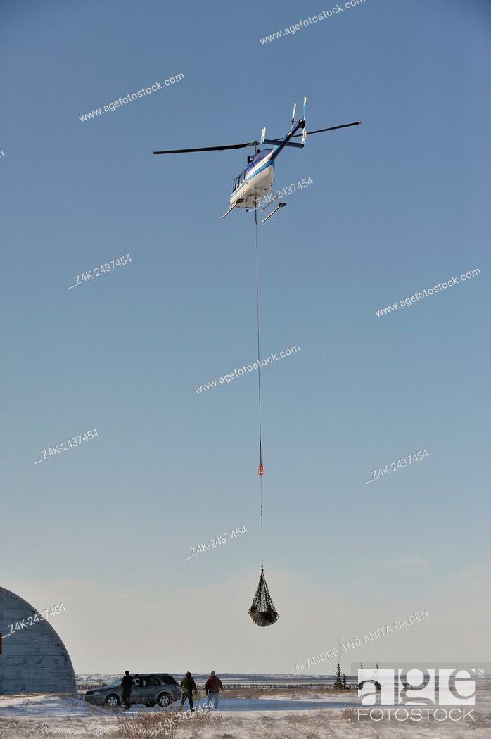 Stock Photo: Polar bear (Ursus maritimus) hanging under a helicopter for relocation from Churchill, Manitoba, Canada.