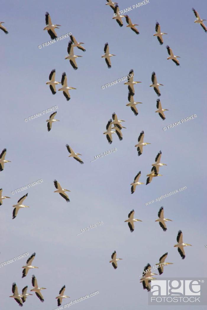 Stock Photo: White Pelican (Pelecanus onocrotalus). Amboseli National Park. Kenya.