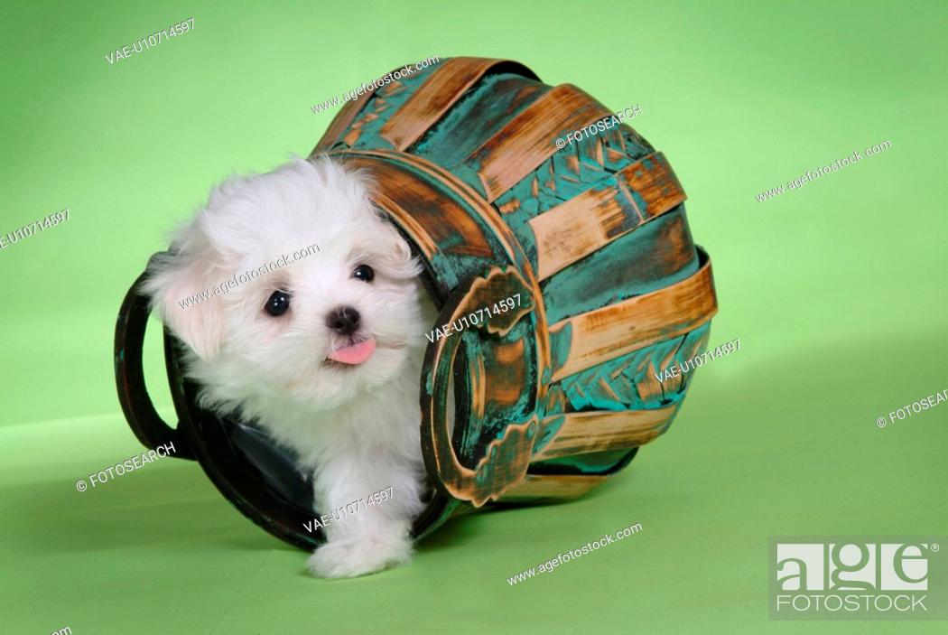 Stock Photo: loving, basket, puppy, canines, domestic, maltese.