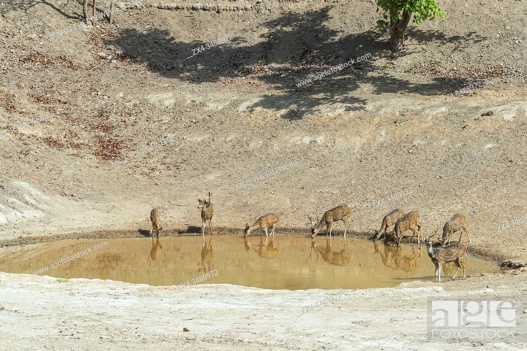 Stock Photo: Chital or Spotted deer (Axis axis) drinking in a pond, Bandhavgarh National Park, Madhya Pradesh, India.