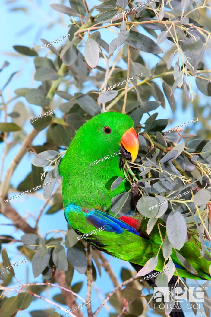 Stock Photo: MALE ECLECTUS PARROT eclectus roratus.