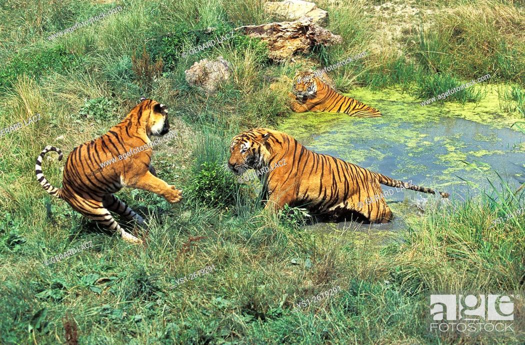 Stock Photo: Bengal Tiger, panthera tigris tigris, Standing in Water.