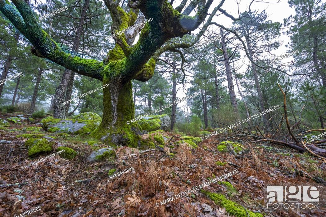 Stock Photo: Oaks with moss and pines at Graja gorge. Sierra de Gredos. Avila. Spain. Europe.
