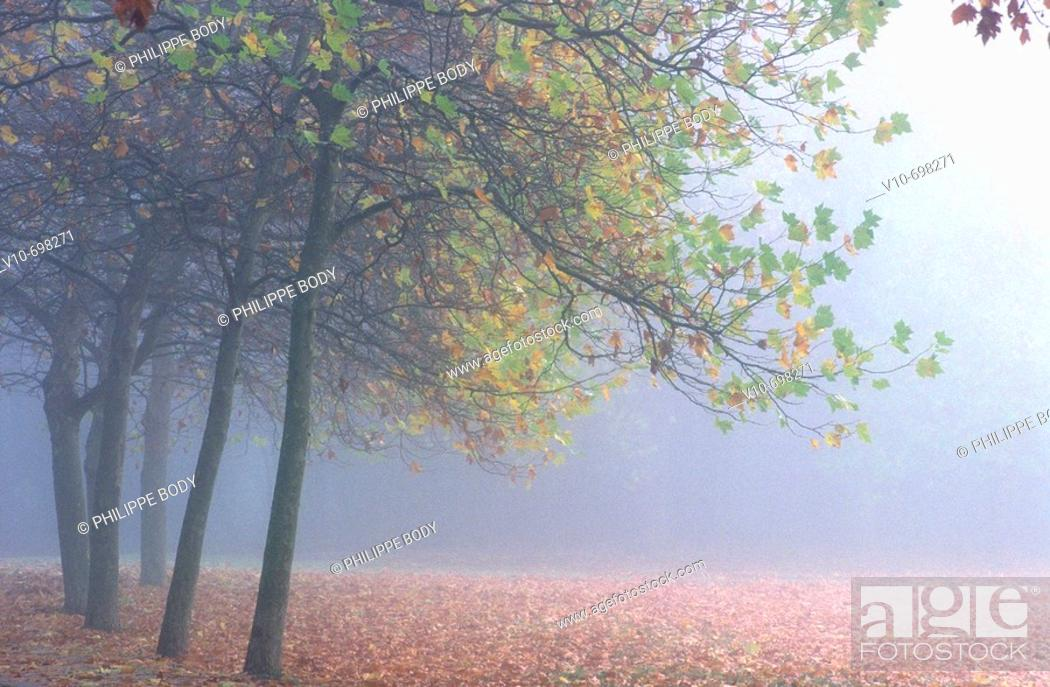 Stock Photo: Morning mist in a oak trees forest, France.