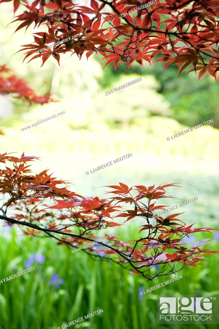 Stock Photo: Japanese maple tree in garden, cropped view.