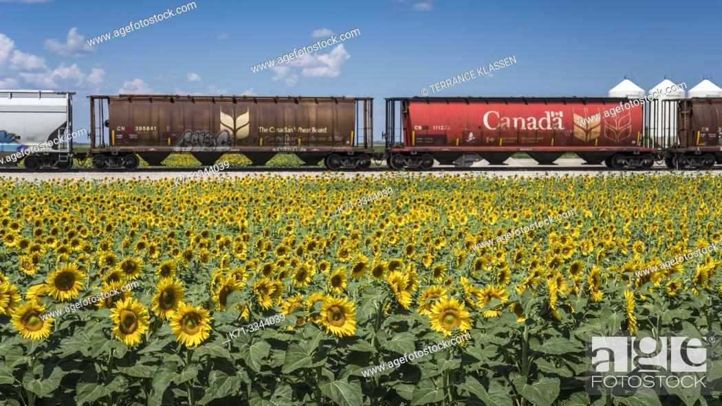 Stock Photo: Grain cars and a blooming sunflower field near Brunkild, Manitoba, Canada.