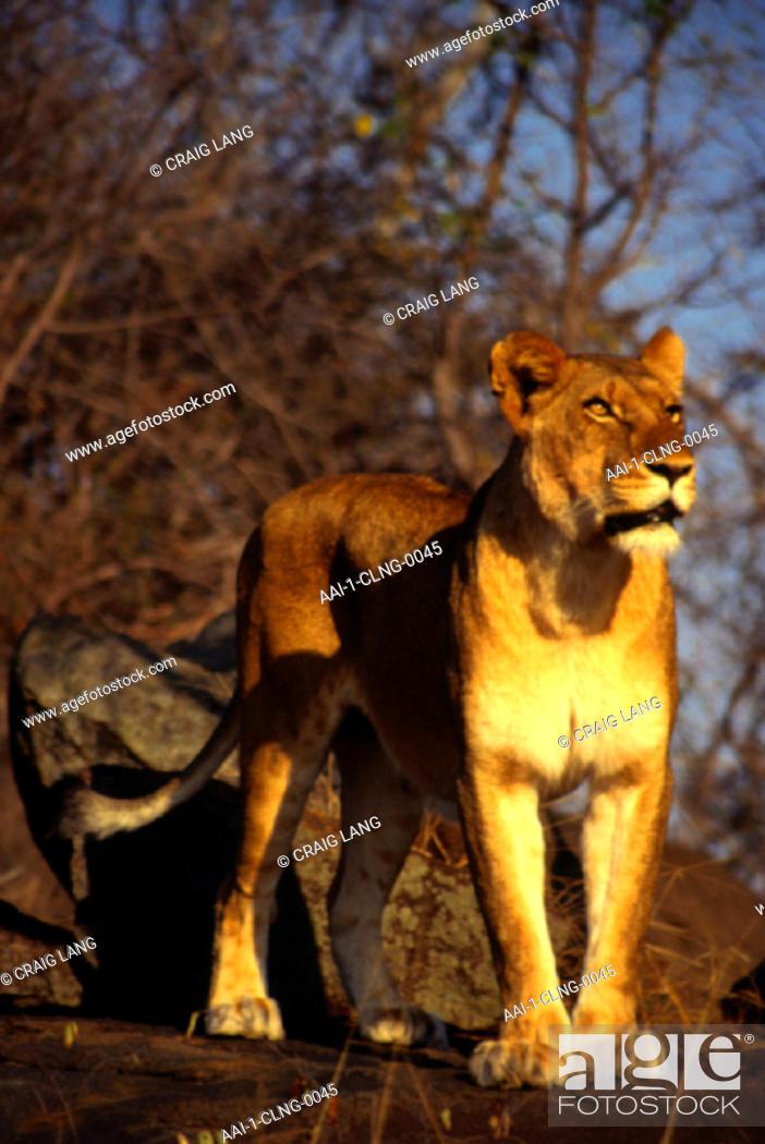 Stock Photo: Lioness, Mala Mala, Mpumalanga, South Africa.