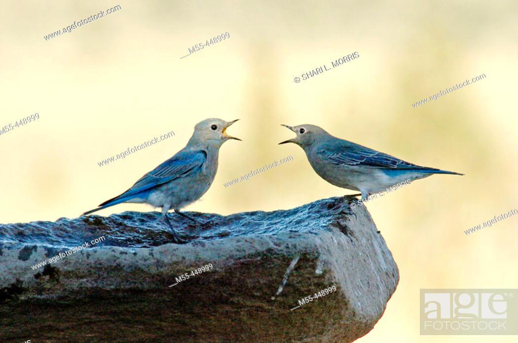 Stock Photo: Bluebirds (Sialia sp.) arguing.