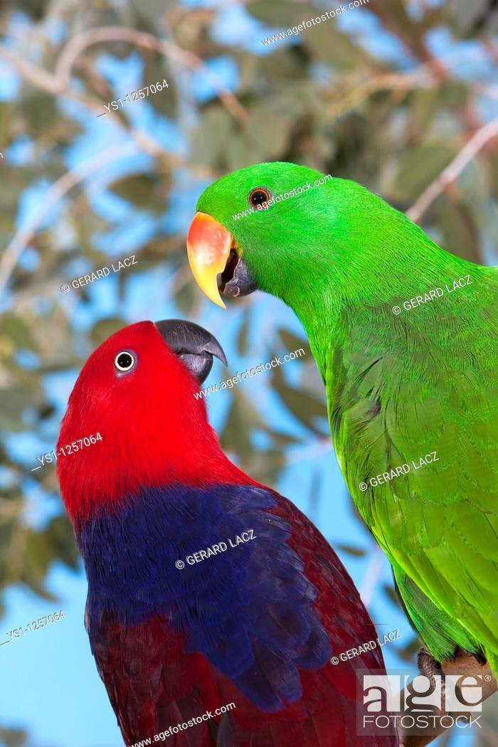Stock Photo: MALE AND FEMALE ECLECTUS PARROT eclectus roratus.