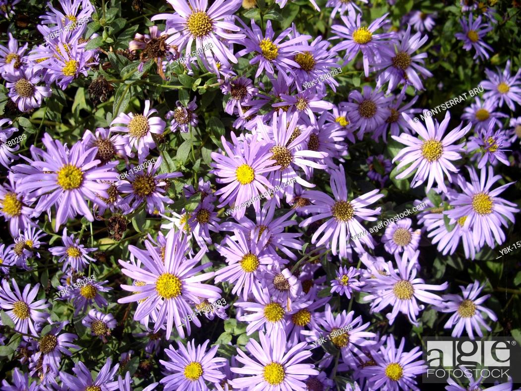 Stock Photo: Aster flowers.