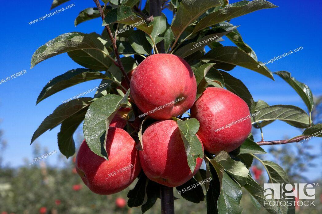 Stock Photo: Apple Brookfield on a tree  LLeida  Spain.