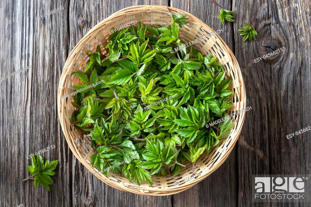 Stock Photo: Fresh young ground elder leaves in a basket, top view.