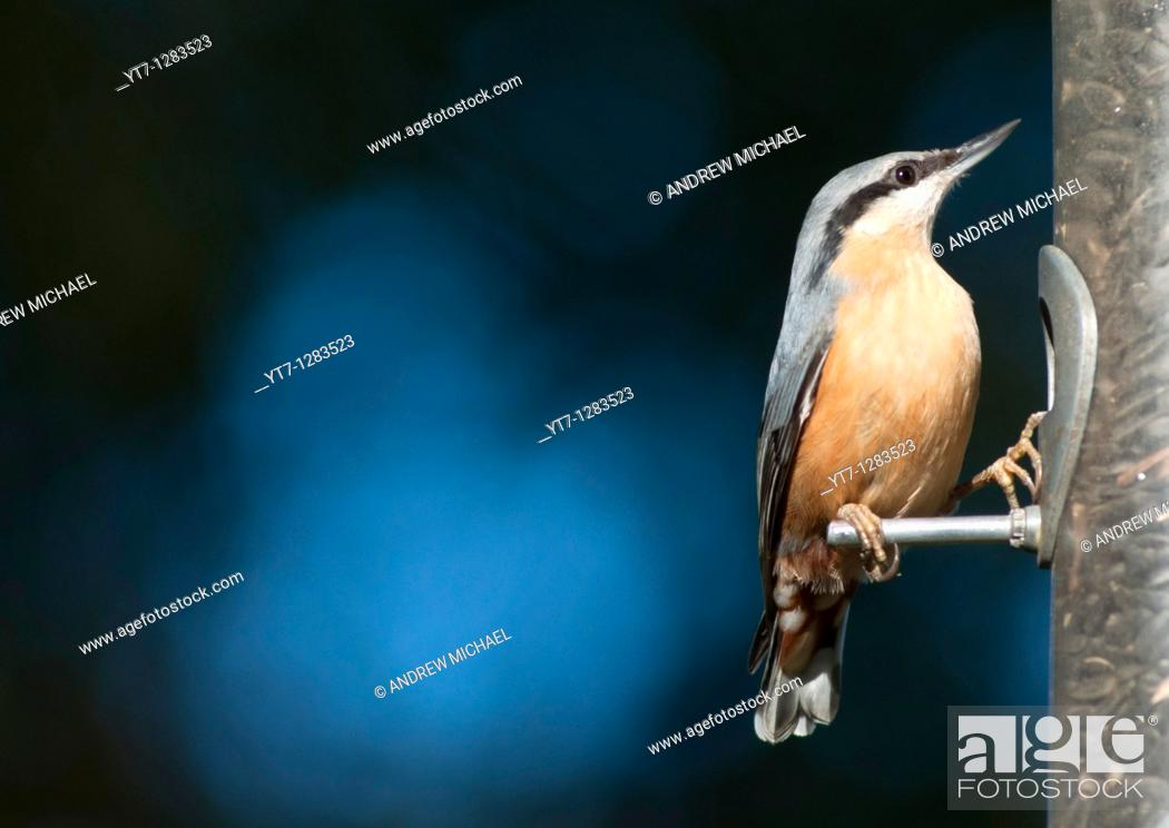 Stock Photo: A Eurasian nuthatch Sitta europaea, male, seen in the West Midlands, UK.