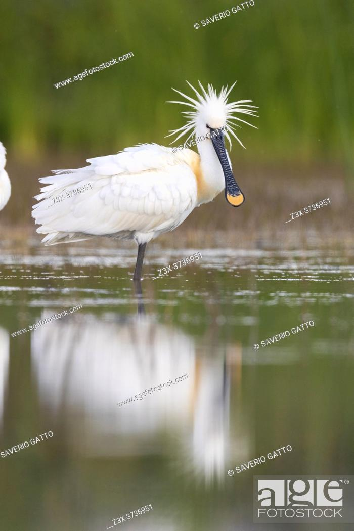 Stock Photo: Eurasian Spoonbill (Platalea leucorodia), side view of an adult standing in the water, Campania, Italy.