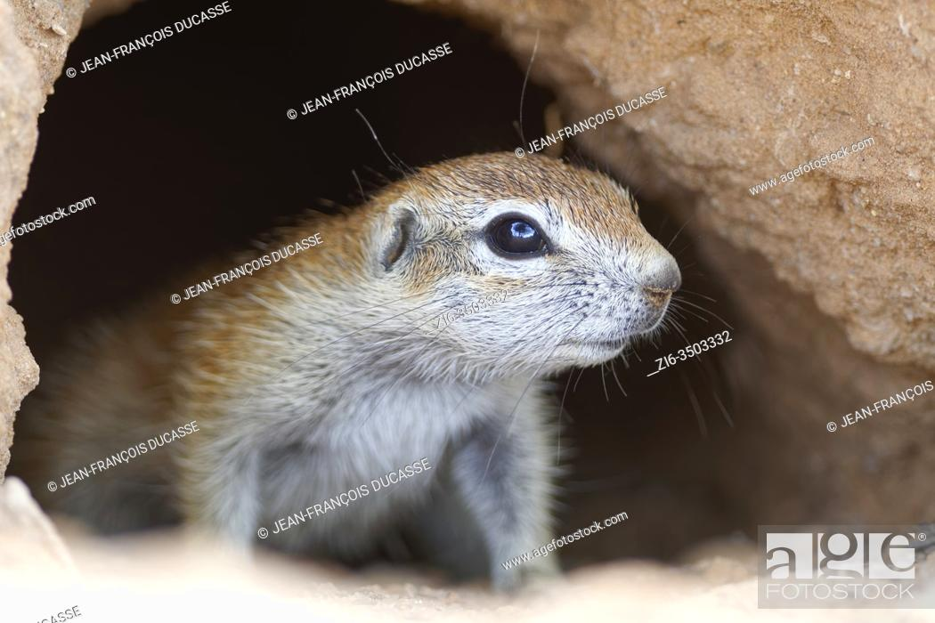 Stock Photo: Cape ground squirrel (Xerus inauris), young, inside the burrow, looking out, alert, Kgalagadi Transfrontier Park, Northern Cape, South Africa, Africa.