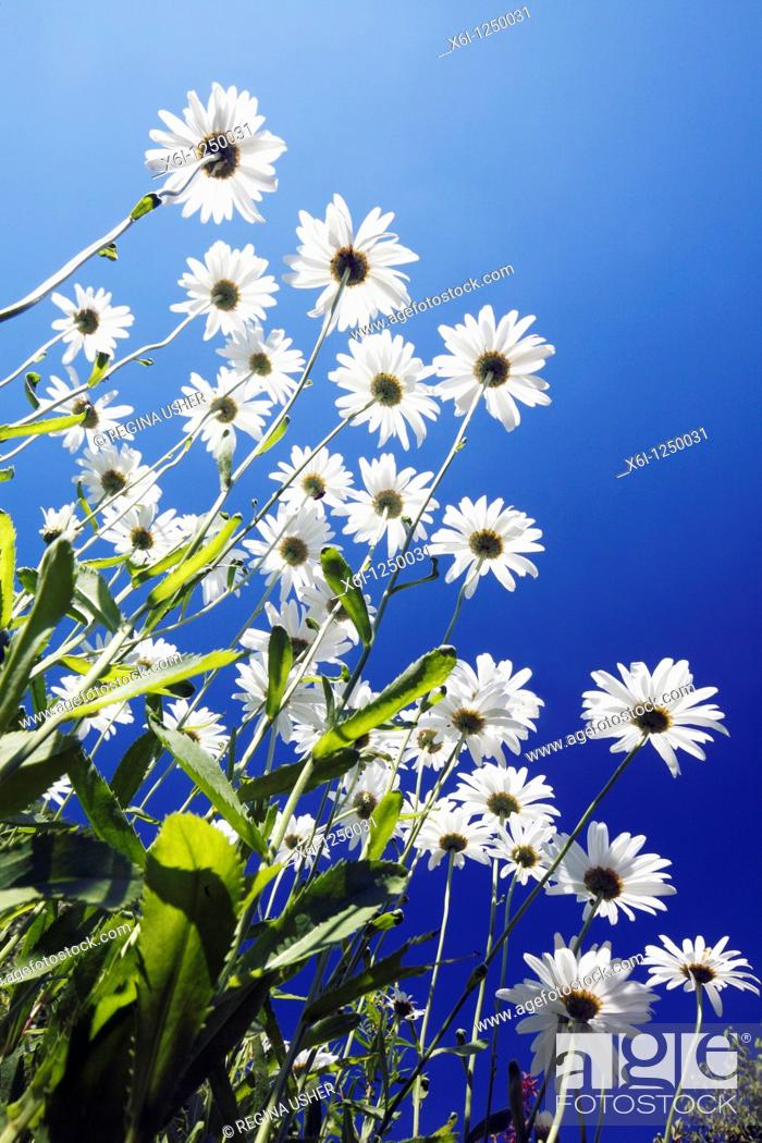 Stock Photo: Ox-eye Daisy Leucanthemum vulgare, flowering against a blue sky, Germany.