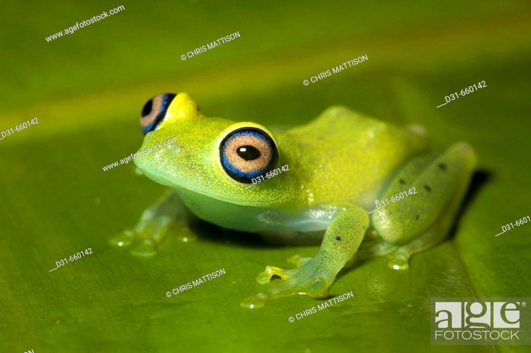 Stock Photo: Bright-eyed frog, or green tree frog, Boophis viridis, Andasibe, Madagascar.