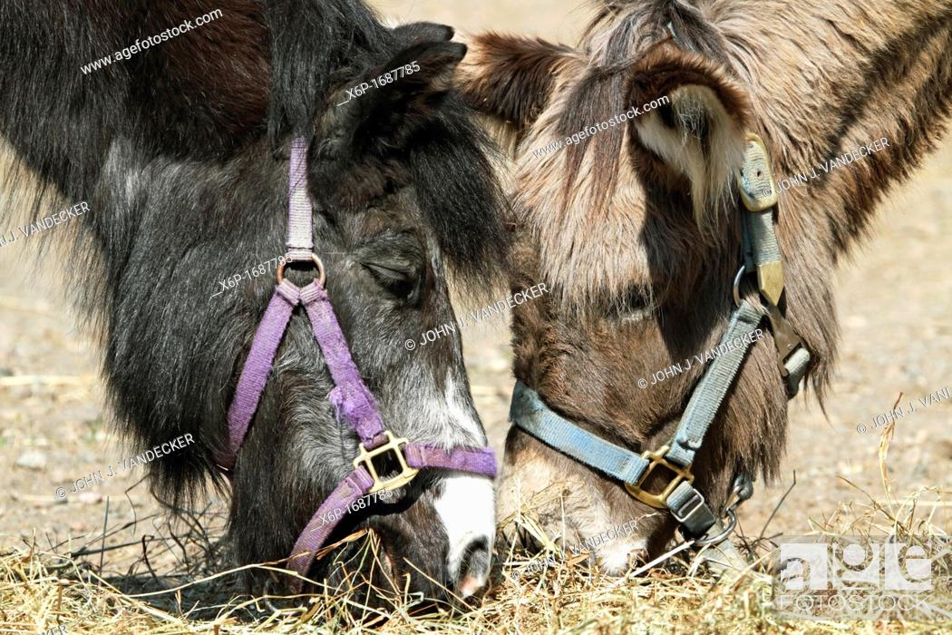 Stock Photo: Supper friends  Two small horses eating together  Turtleback Zoo, West Orange, New Jersey, USA.