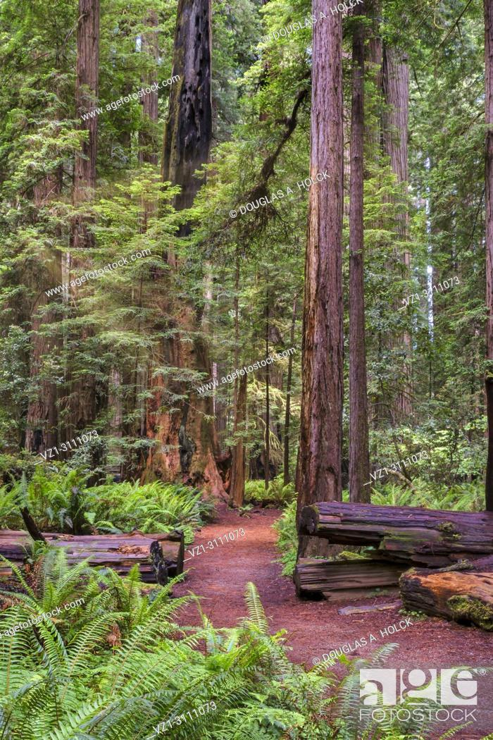 Imagen: The sun appears for a brief moment between storms along a path in Stout Memorial Grove in Jedidiah Smith Redwoods State Park, CA, USA.