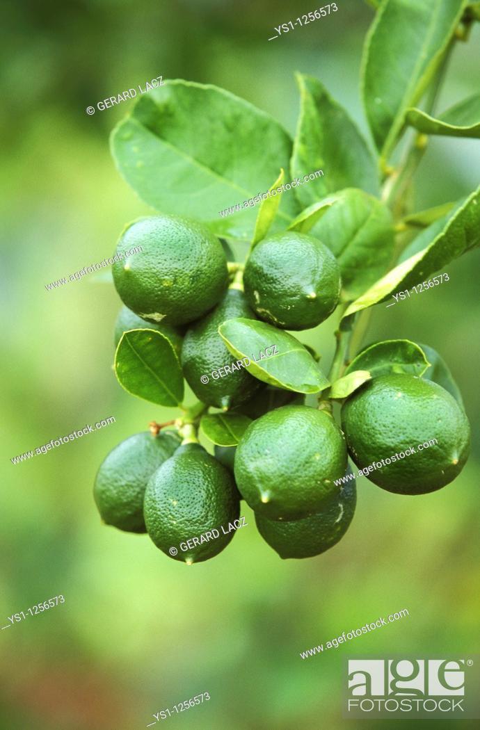 Stock Photo: BRANCH OF LEMON TREE IN HAWAII.