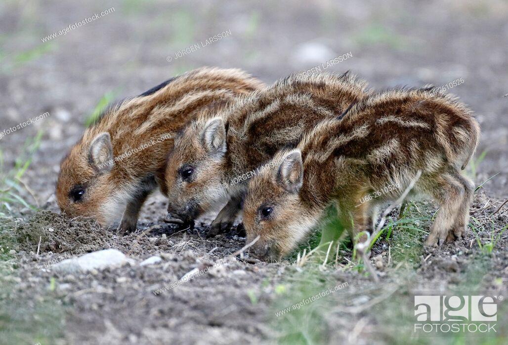Stock Photo: Wild boar, Sus scrofa, Botkyrka, Sweden.