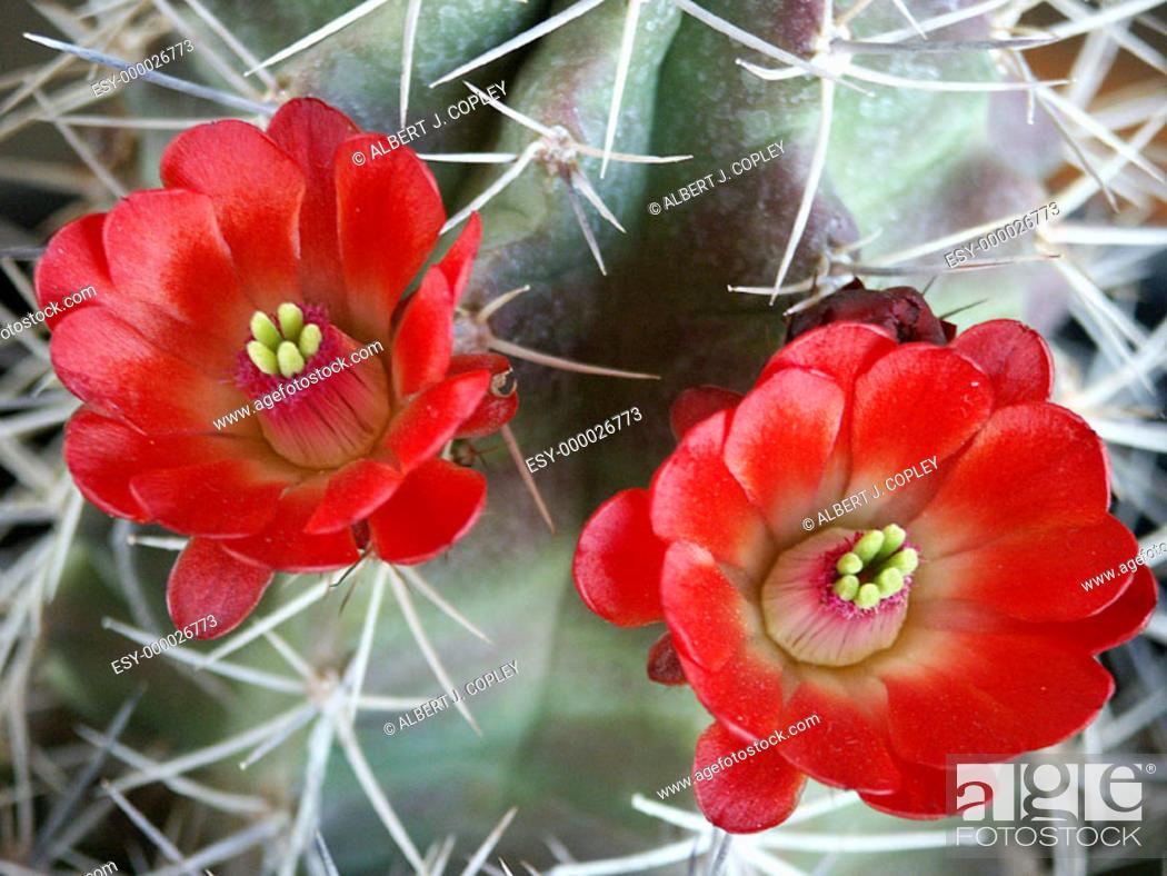 Stock Photo: Cactus blossom.