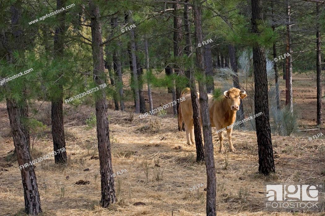 Stock Photo: Domestic Cattle, cow, standing in pine woodland, Yeste, Sierra de Segura Mountains, Castilla la Mancha, Spain, january.