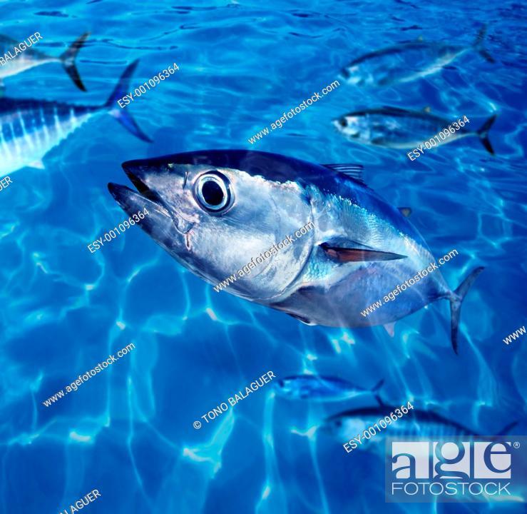 Photo de stock: Bluefin tuna Thunnus thynnus fish school underwater swimming blue ocean.