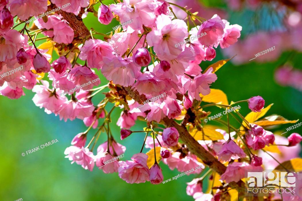 Stock Photo: Japanese Pink Cherry Blossom Sakura Tree in Blossom.