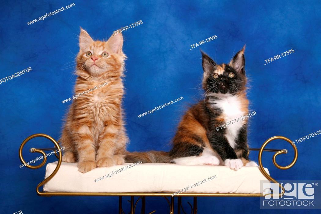 Stock Photo: Maine Coon Kitten.
