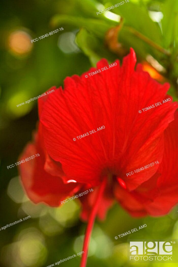 Stock Photo: Red hibiscus with stamen pointing down and petals floating up like wings.