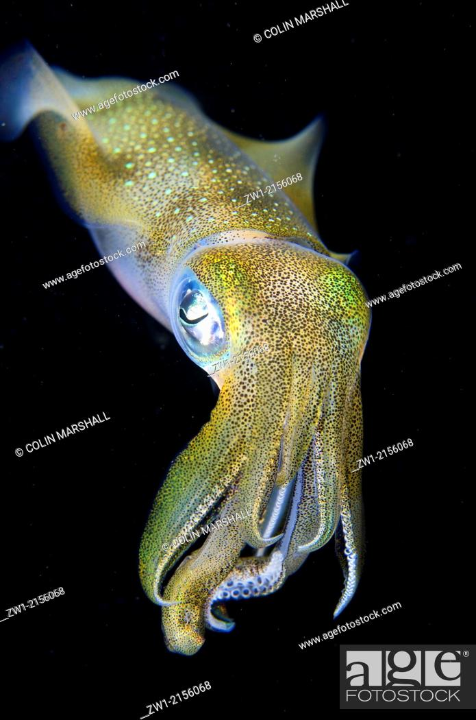 Stock Photo: Bigfin Reef Squid (Sepioteuthis lessoniana) during night dive at Batu Angus dive site in Lembeh Straits in Sulawesi in Indonesia.