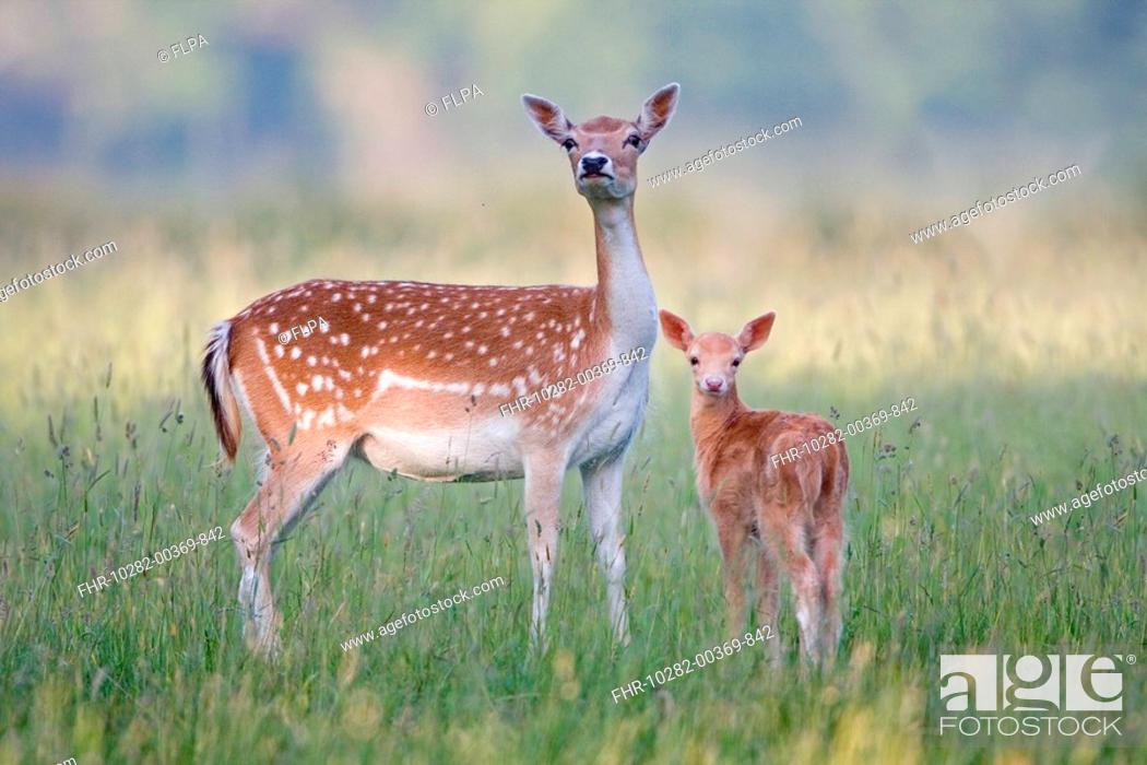 Stock Photo: Fallow Deer Dama dama doe with two-week old fawn, standing in grass, Suffolk, England, june.