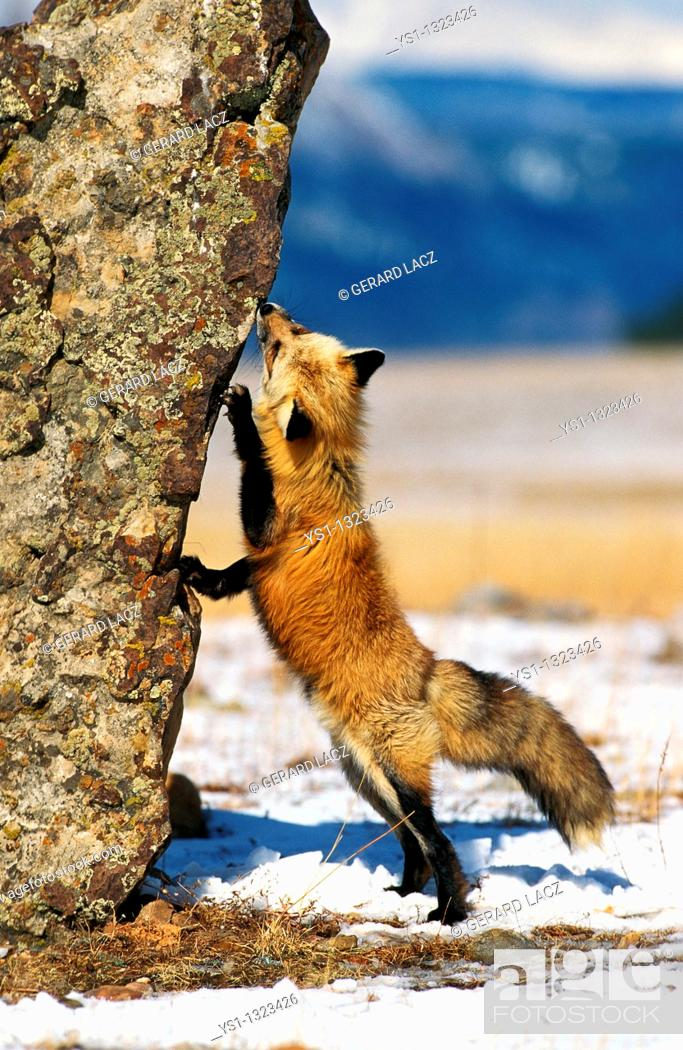 Stock Photo: RED FOX vulpes vulpes, ADULT STANDING ON HIND LEGS, CANADA.